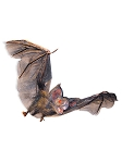 Hairy Flying Vampire Bat