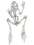 Skeleton Frog Prop